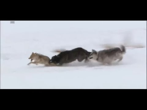 Wolves vs coyote [HD]