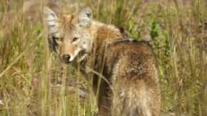 Coyote Hunting – Pointers and Information