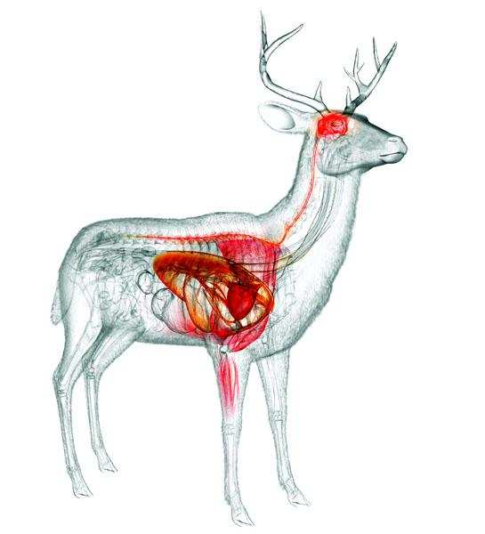 Where to Shoot a Deer: Know the Animal's Anatomy