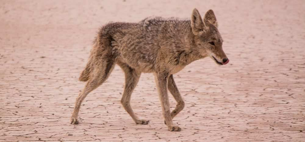 The Best Time of Day to Hunt Coyotes - Fast Guide