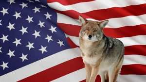 Where to hunt coyote