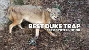 best duke trap for coyote hunting