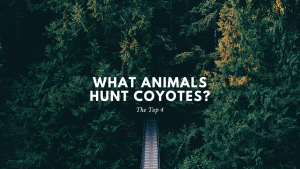 What Animals Hunt Coyotes?