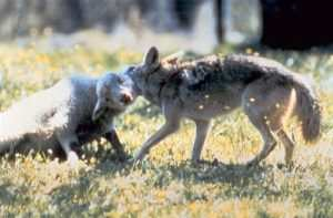 Coyote_with_typical_hold_on_lamb
