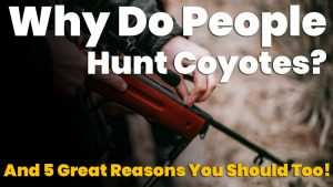 why do people hunt coyotes?