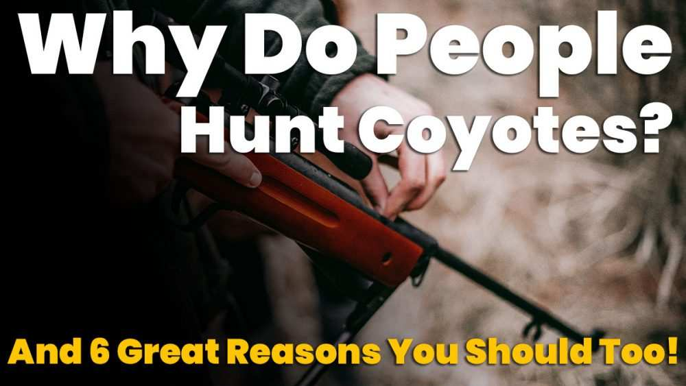 why do people hunt coyotes