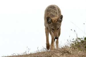best-coyote-bait-for-trapping