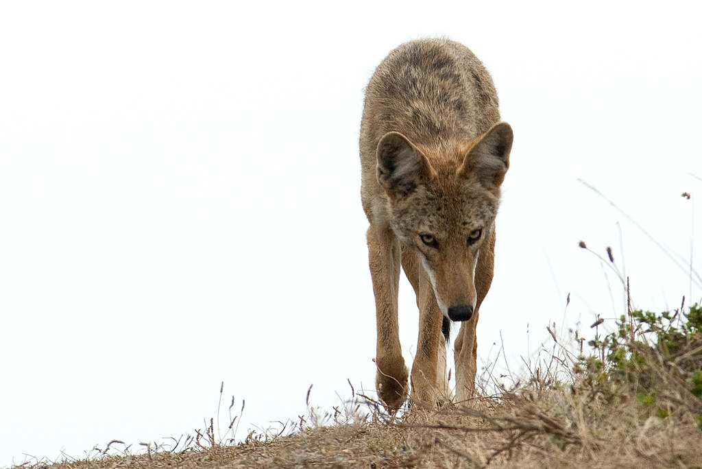 Best Coyote Bait for Trapping - Do's and Dont's!