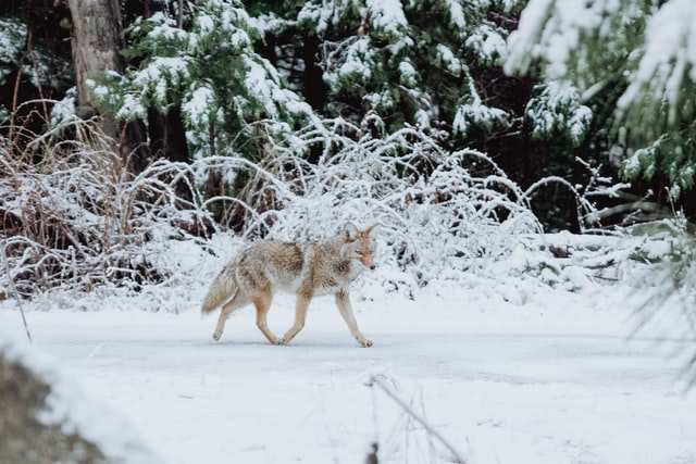 how to trap coyote in snow