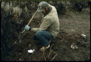 Best Coyote Bait for Trapping - Setting a Trap