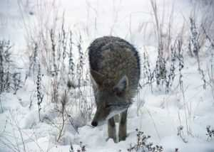 how-to-trap-coyote-in-snow
